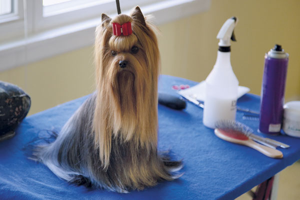 Dog On Top Grooming Yorkshire Terrier Show Preparation