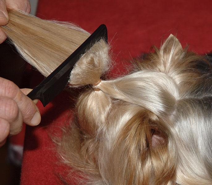 Dog On Top Preparation Of The Topknot